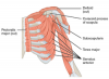 250px-1119_Muscles_that_Move_the_Humerus_c.png