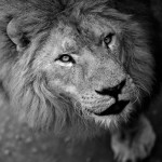 Better One Day as a Lion