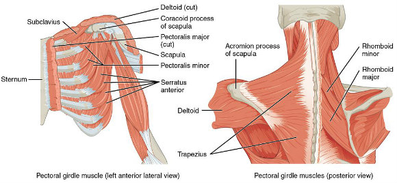 The Anatomical Reasons We Need to Press Overhead