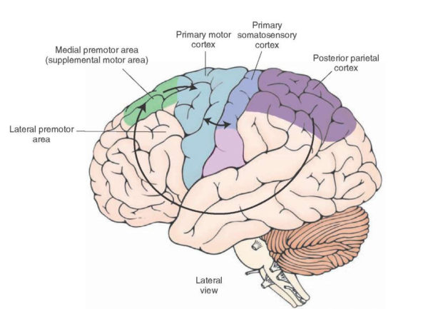 pre-motor cortex what-when-how.com