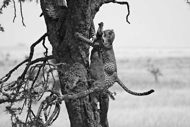 Leopard carrying her prey up a tree