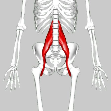 Psoas muscle hip flexor anatomy